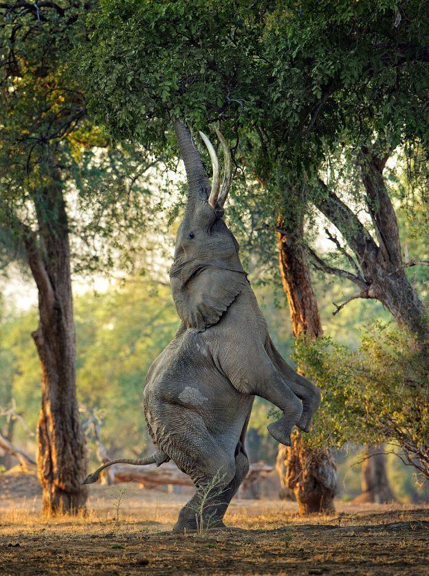 Czy słonie mogą być zwinne?