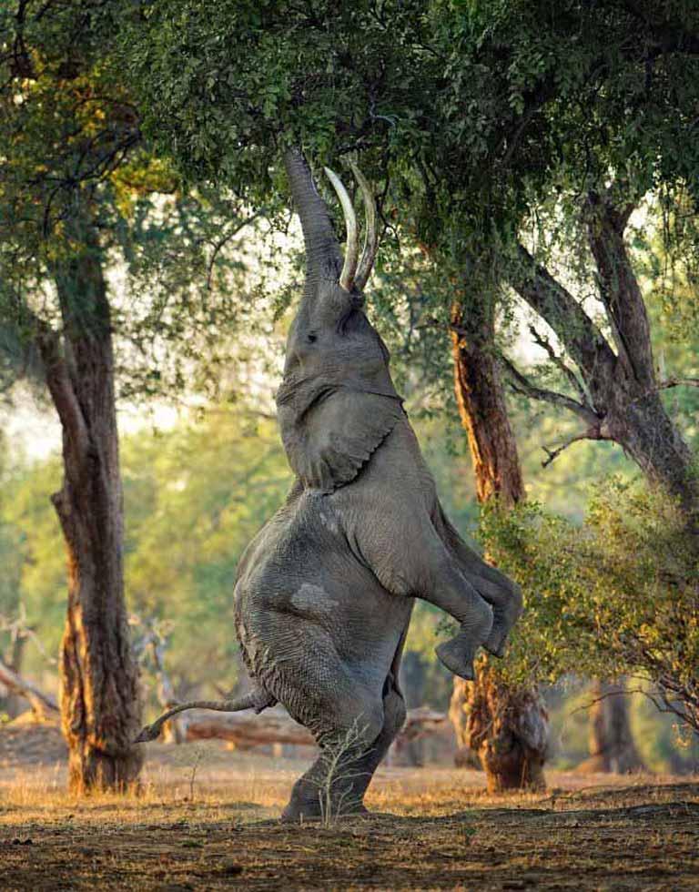 Zwinny jak słoń
